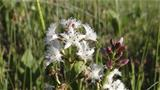 Flowering of the bogbean at Vianaapa. Photo: AT